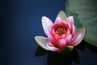 water-lilies-1825477.jpg
